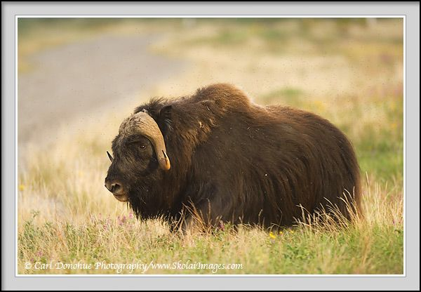 Muskox, Arctic National Wildlife Refuge, ANWR, Alaska.   Muskox on the arctic coastal plain, near the Canning River, Arctic National Wildlife Refuge, ANWR, Alaska. Muskox, or muskoxen, are more closely related to goats and sheep than to ox. Both sexes, male and female, have horns.