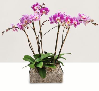 Pink Phalaenopsis Orchid Flower by theorchidcollection shop.