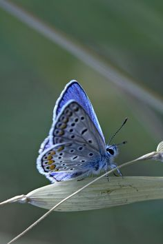 The rare, endangered and beautiful Karner Blue butterfly!