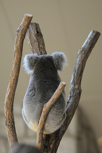 コアラの癒し画像♡後ろ姿は完全にぬいぐるみ!