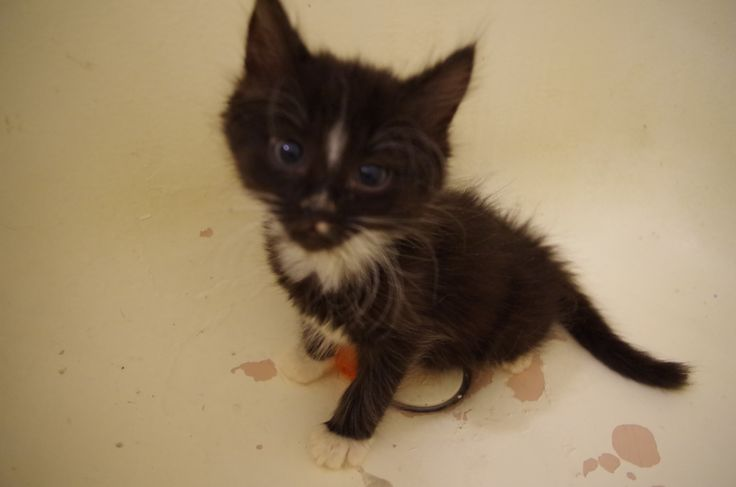 Voltaire, born Sept 10, 2016 available for adoption mid-December