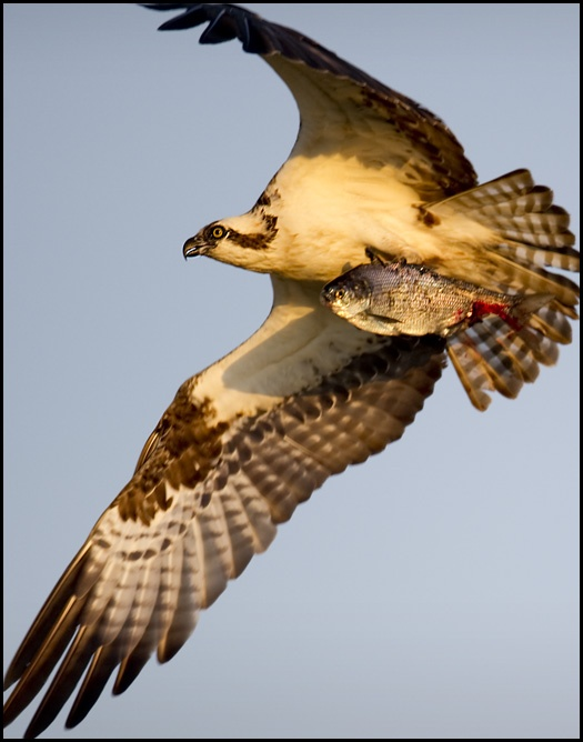 112 best images about birds of prey on pinterest for Fish hawk bird