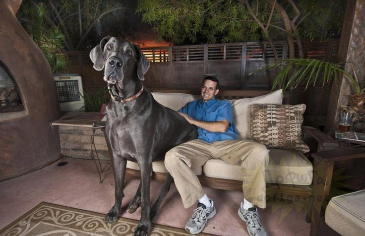 Giant George , most famous dog in the world