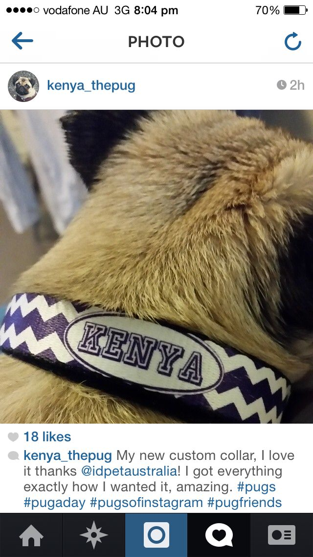 Cute Pug Kenya Custom made her Personalised chevron dog collar. Design your own today at IdPet.com.au from $23.95