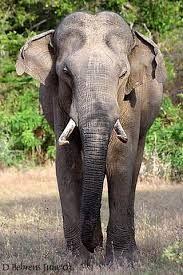 Resultado de imagen para elefante asiatico en peligro de extincion