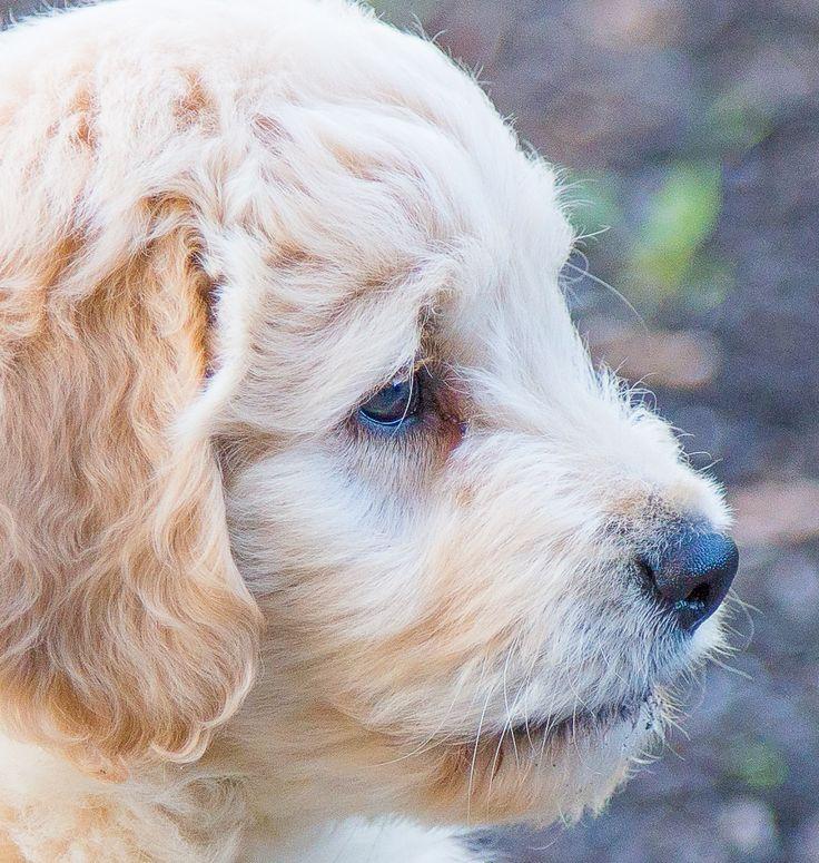 Golden Retriever Puppies For Sale Northern California Ideas