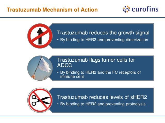 Výsledek obrázku pro trastuzumab mechanism of action