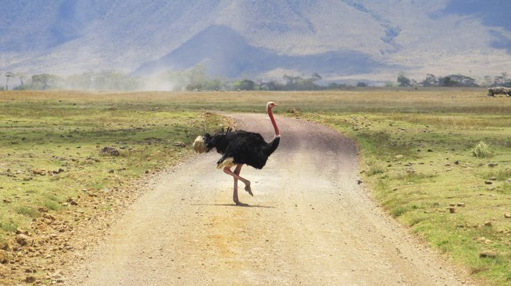Ostrich in the Ngorongoro Crater, #Tanzania. #Africa #Travel #Wildlife #Ostrich #weknowbecausewego #safari