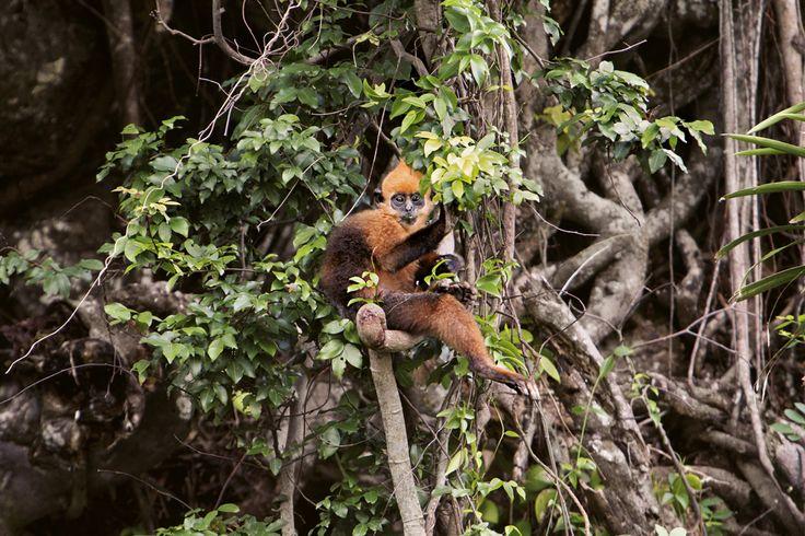 Le langur à tête dorée est l'un des primates les plus menacés du monde. Ces singes vietnamiens, gros comme des ratons laveurs, sont passés de près de 2500 individus dans les années 1960 à environ 55 aujourd'hui, principalement à cause du braconnage - National Geographic France