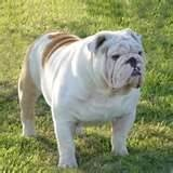 Image detail for -English Bulldogges for sale, Olde English Bulldogs, English Bulldogs ...