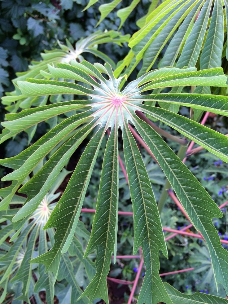 Hardy Tapioca, or Cassava, is a hardy tropical plant added to landscapes for a cool tropical look.