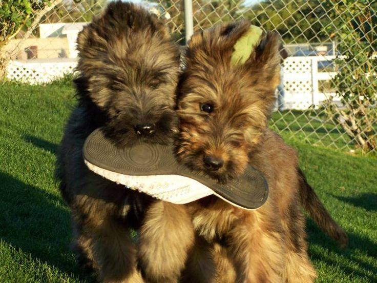 briard dog photo | California Briard Breeders Briards For ...