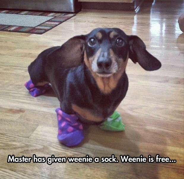Master has given weenie a sock. weenie is free. Harry Potter and daschunds - 42 Best Dachshunds Images On Pinterest Dachshunds, Dachshund