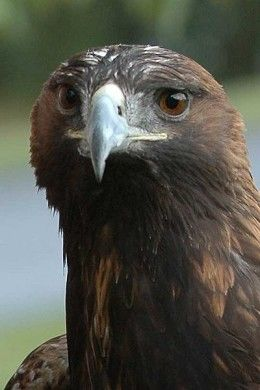 Largest Bird Of Prey | Florida Everglades Birds of Prey