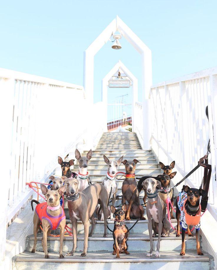 つるつる大集合  #italiangreyhound #イタグレ #イタリアングレーハウンド #miniaturepinscher #ミニピン #ミニチュアピンシャー #dog #instadog #犬バカ部 #ステンクー  #モデル犬 #北港ヨットハーバー #集合写真 by ighamukatsu