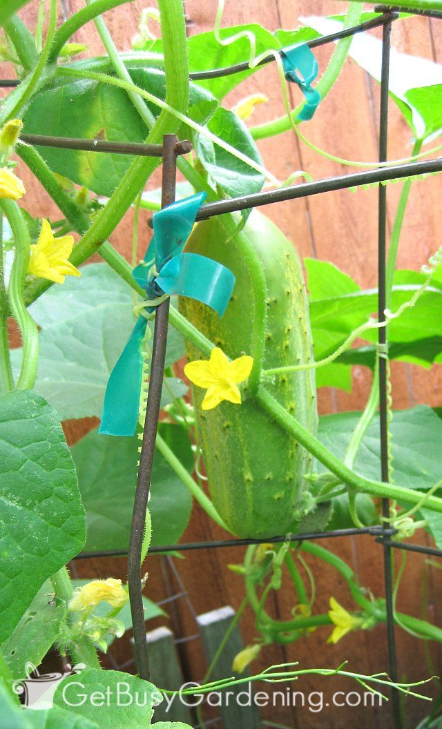 Cucumbers on trellis ready to harvest