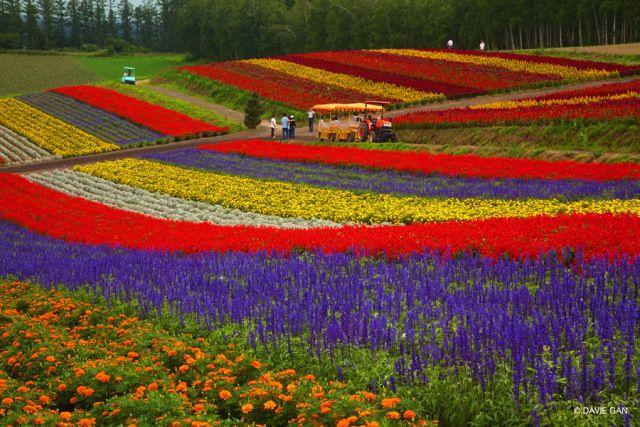 Breathtaking Summer Blooms at Biei and Furano in Hokkaido, Japan