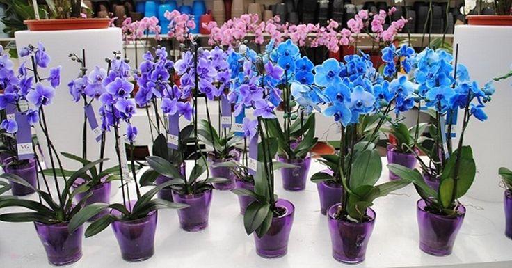 množení orchideí