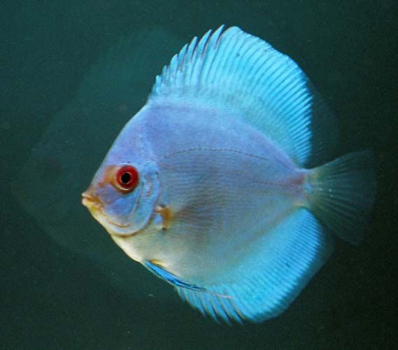 17 best images about discus gallery on pinterest for Discus fish price