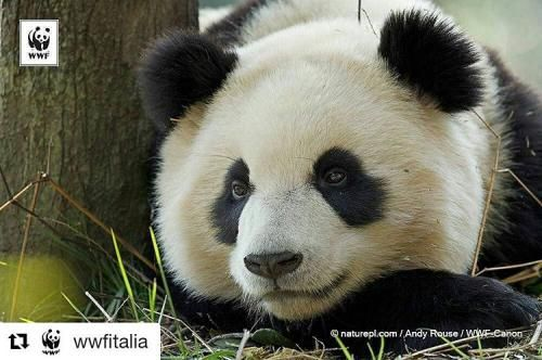 Attualità: I #panda #giganti possono festeggiare: la specie non... (skytg24hd) (link: http://ift.tt/2cF8lsS )