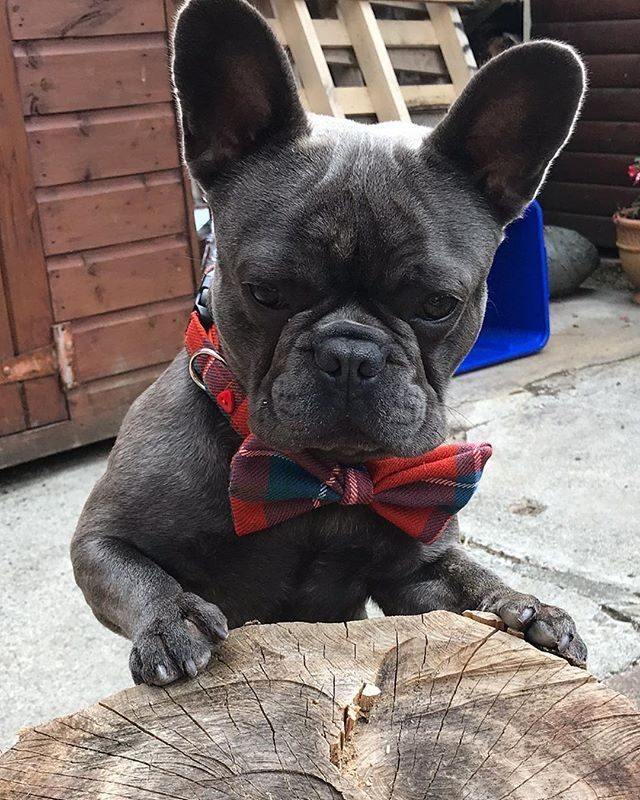 Pin By Maria Brening On Puppies In 2020 French Bulldog Cute