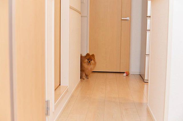 🐾 #goodmorning ☀️ . #ポメラニアン #ぽめ #犬 #わんちゃん #たぬき #愛犬 #ポメラニアンが世界一可愛い #犬バカ部 #ふわもこ部 #カメラ女子 #カメラ日和 #ファインダー越しの私の世界 #写真好きな人と繋がりたい #写真部 #写真撮ってる人と繋がりたい #犬好きな人と繋がりたい #ポメ部  #Nikon #puppy #happy #pomeranian #pom #pomeranianworld #dog #Instadog #petstagram #tagsforlikes #멍스타그램 #개스타그램