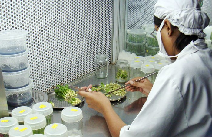 Image result for plant tissue culture