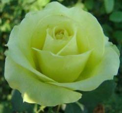 Las rosas verdes: significa esperanza, descanso juventud y equilibrio.