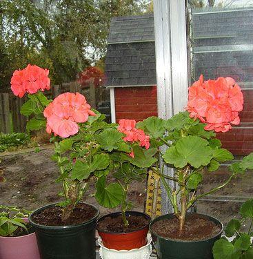 Overwintering geraniums and geranium care on pinterest - Overwintering geraniums tips ...