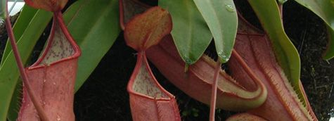 Nepenthes Care Sheet