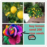 20 limão sementes de árvores enviar 200 do arco-íris rose sementes como presente Bonsai de frutas sementes da árvore para jardim para quintal
