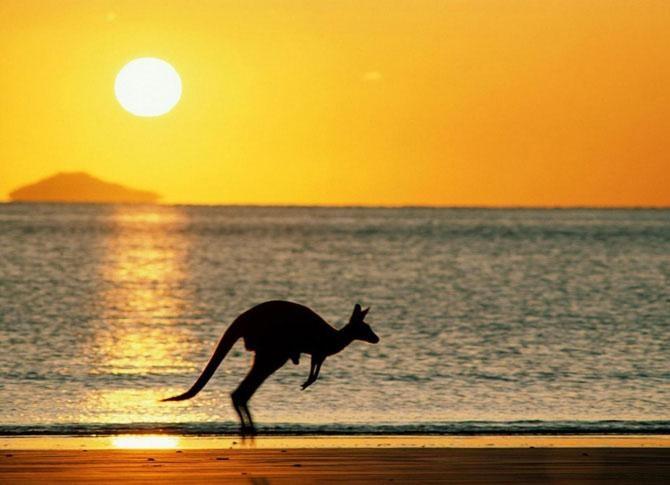 Kangaroo strollin' in the sunset