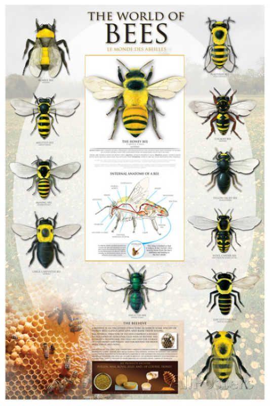 Bee anatomy poster