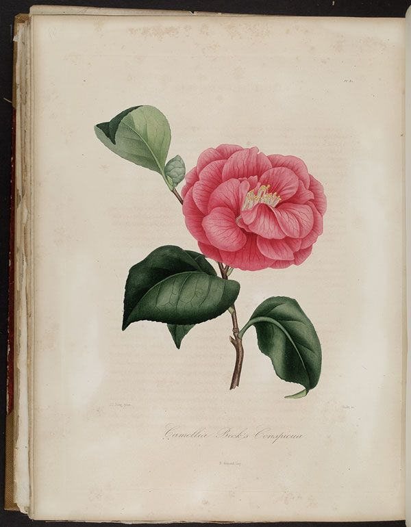 Image of Illustration of Camellia Beck's Conspicua
