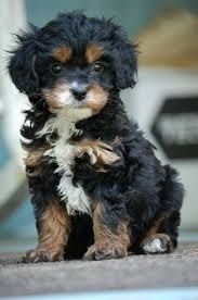 king charles cavalier cross poodle - Google Search