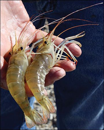 Freshwater prawn production is a viable venture in Missouri
