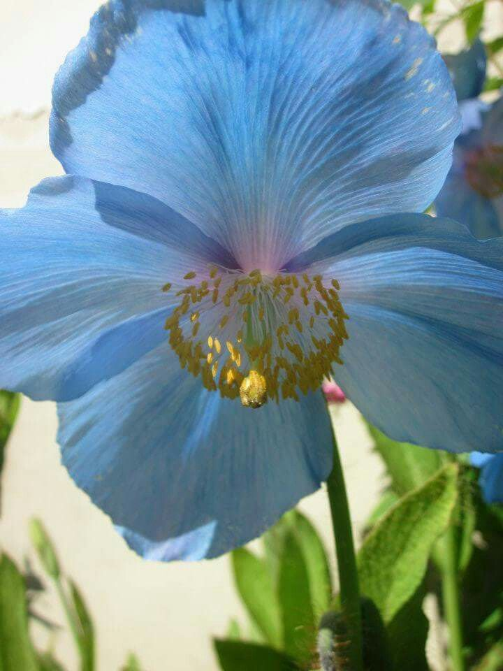 Blues flower