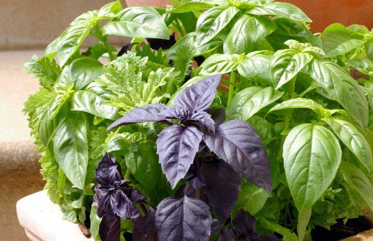Интересные мелочи о выращивании базилика в квартире, которые нужно знать!