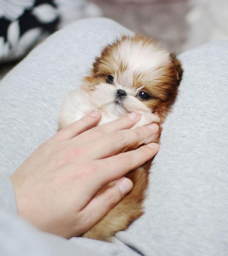 Gorgeous Shih Tzu Puppy