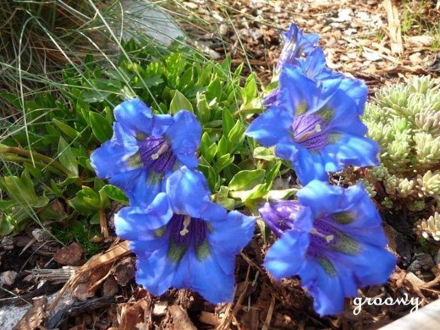 amazing blue, Gentiana acaulis