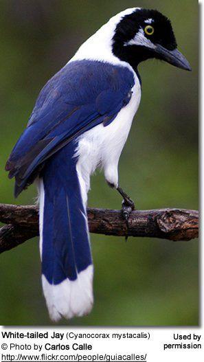 White-tailed Jay (Cyanocorax mystacalis). Ecuador and Peru.