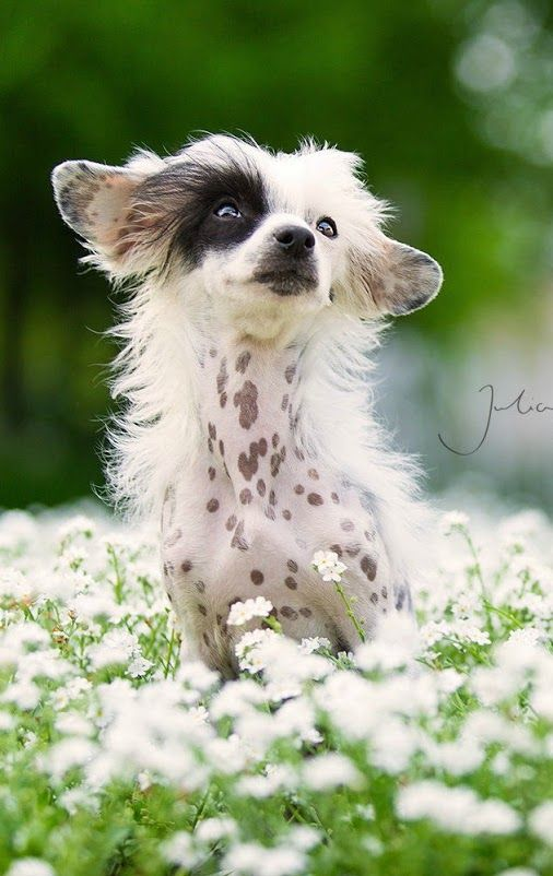 Little Pirate - Chinese Crested dog by Julia Poker