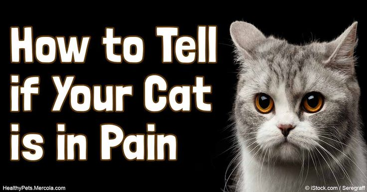 What Can You Give A Cat For Arthritis Pain