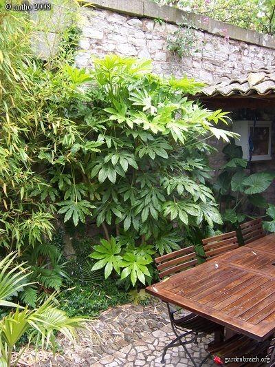 Fatsia japonica- shady corner