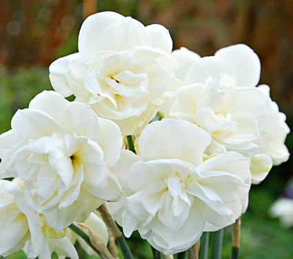 360 best narcissus images on pinterest daffodils birth flowers narcissus rose of may mightylinksfo Choice Image