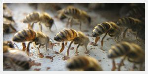 Have a bee exterminator remove the hive on your property. Removing bees alive is always encouraged but not always feasible. A bee extermination service is always a solution to get rid of bees. EPA-approved products are used to keep your property bee-free! http://www.propacificbee.com/services/