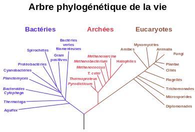 arbre phylogénique de vie