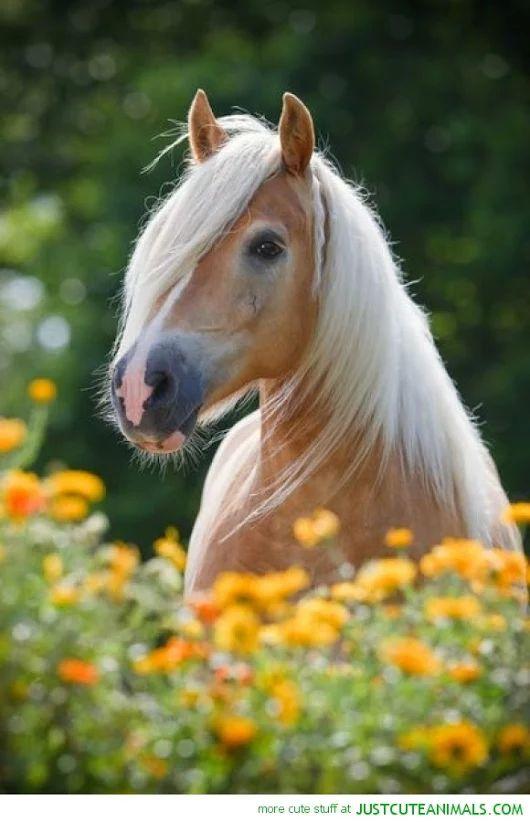 Horses - Haflinger horse in the pasture.