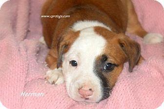 Glastonbury, CT Boxer Mix. Meet Herman, a puppy for