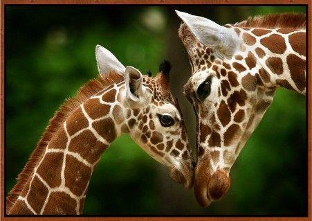 Mommy Giraffe Kissing Baby Giraffe | motherandbabygiraffe1.jpg